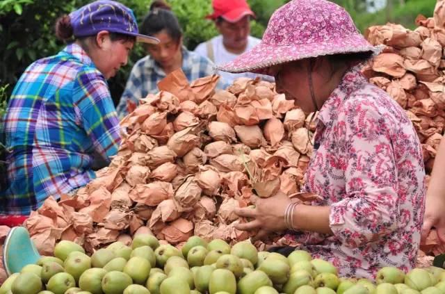 黄心黄肉猕猴桃产业园基地