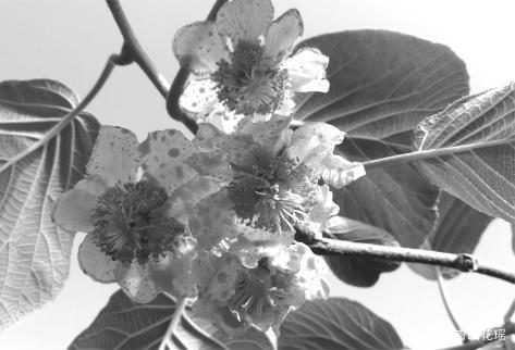 獼猴桃授粉