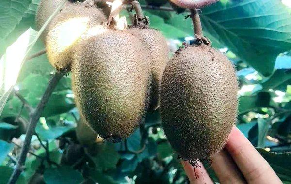 翠香猕猴桃,甜到不要脸的猕猴桃!香甜可口,汁水丰富