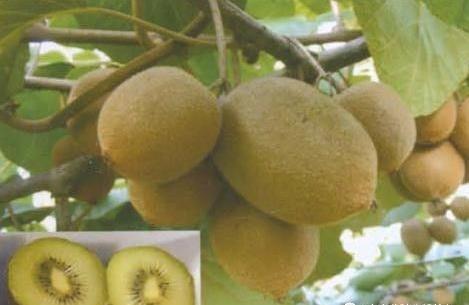 金怡猕猴桃