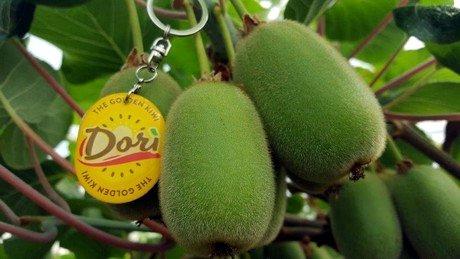 """意大利""""Dori金果""""黄色果肉猕猴桃的正式报告"""
