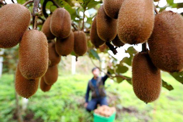 猕猴桃种植果园
