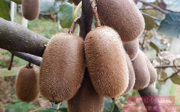 网红猕猴桃