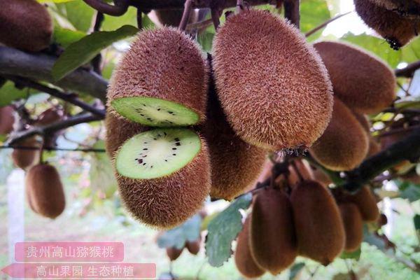 贵州遵义贵长猕猴桃