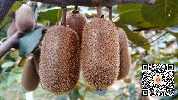 贵州贵长猕猴桃价格多少钱一斤