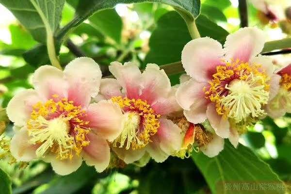 华特猕猴桃(毛花猕猴桃、白毛猕猴桃)在贵州遵义的种植表现