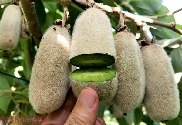 小眾獼猴桃品種 軟棗獼猴桃和毛花獼猴桃介紹