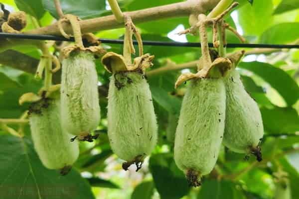 浙江温州泰顺有个猕猴桃农庄 可以吃到稀有野生白猕猴桃