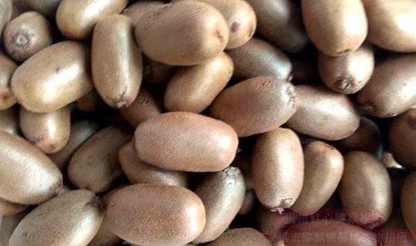 金福獼猴桃是播宏公司從一位研究獼猴桃多年的一位資深老師哪里引進來貴州遵義種植的