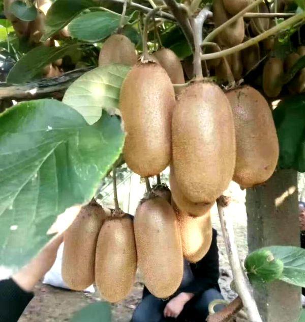 金福猕猴桃