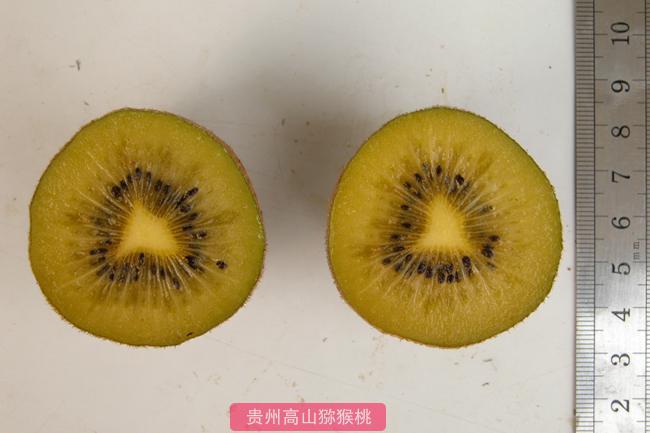 金丰猕猴桃