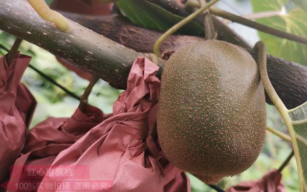 金红猕猴桃