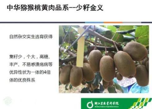 浙江省农业科学院选育的新品种金义猕猴桃