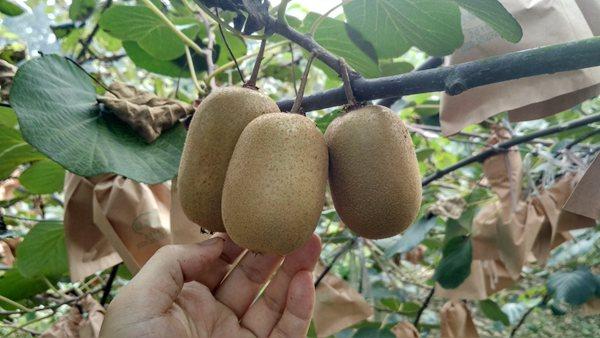 黄心金桃猕猴桃