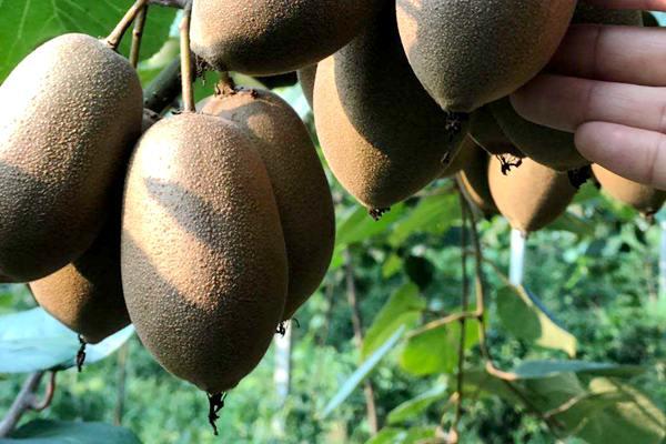 建香猕猴桃产区就在湖北省恩施建始县