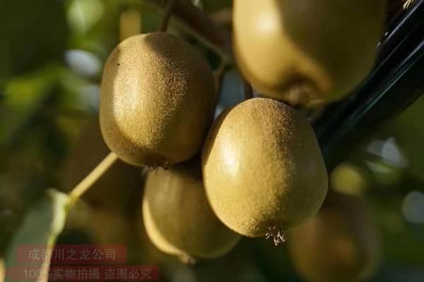 金圆猕猴桃