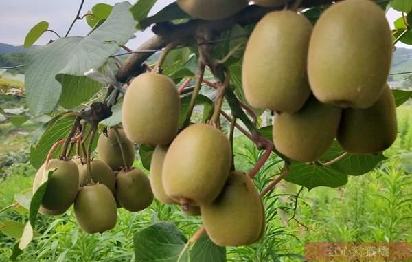 湖北武汉各界猕猴桃专业人士探讨阳光金果产业发展