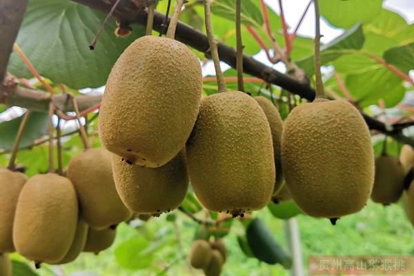 联想开种猕猴桃 预计年产10万吨产值超24亿元