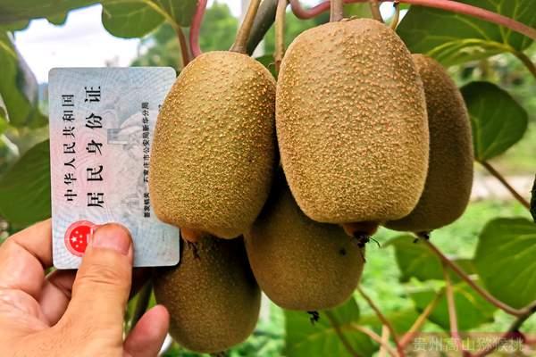 佳沛阳光金果来势汹汹 国产猕猴桃还有机会吗?