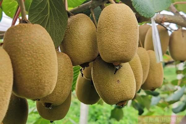 他说新西兰佳沛魅力金果g9猕猴桃嫁接枝条接穗哪里有卖的所言