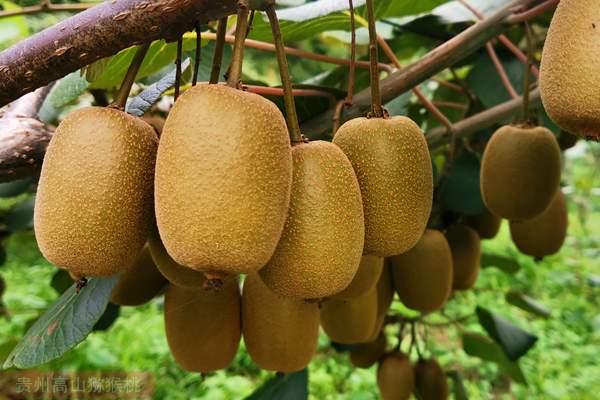 孕妇可以吃阳光金果和魅力金果补充叶酸