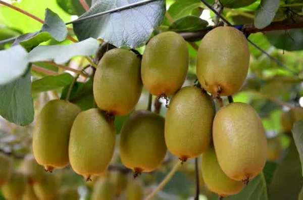 魅力金果猕猴桃