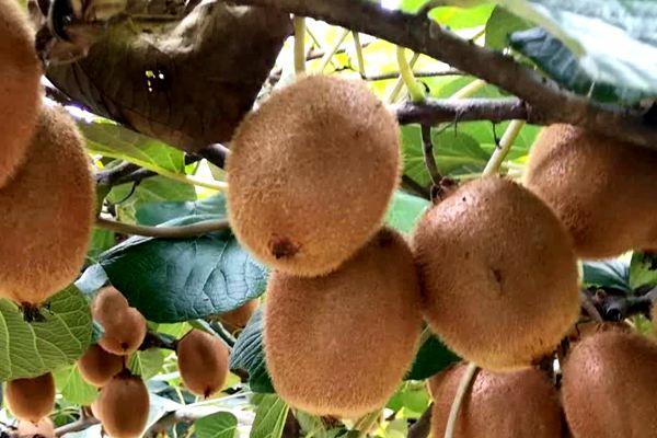 瑞玉猕猴桃最好吃
