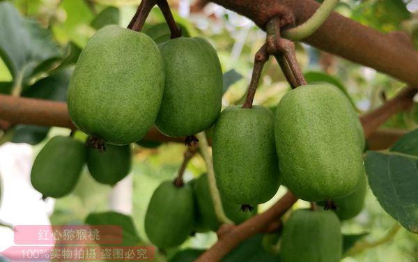 猕猴桃果园生草 猕猴桃果树长势旺盛 猕猴桃果子长得又大 猕猴桃果型非常漂亮