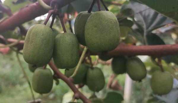 北京西山里的隐藏着一座奇异莓果园 就是软枣猕猴桃