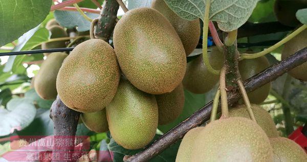 新西兰黄心猕猴桃
