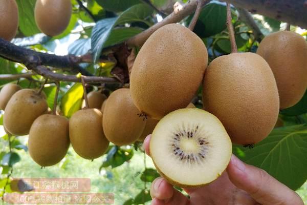 牙龈守护者:芒果、红心猕猴桃、黄心猕猴桃