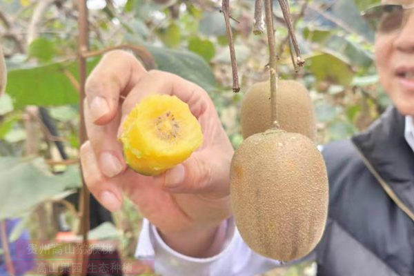 四川成都蒲江电商销售带动有机猕猴桃销售