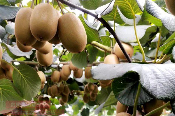 湖南邵阳绥宁县种植有机猕猴桃长势喜人市场看好