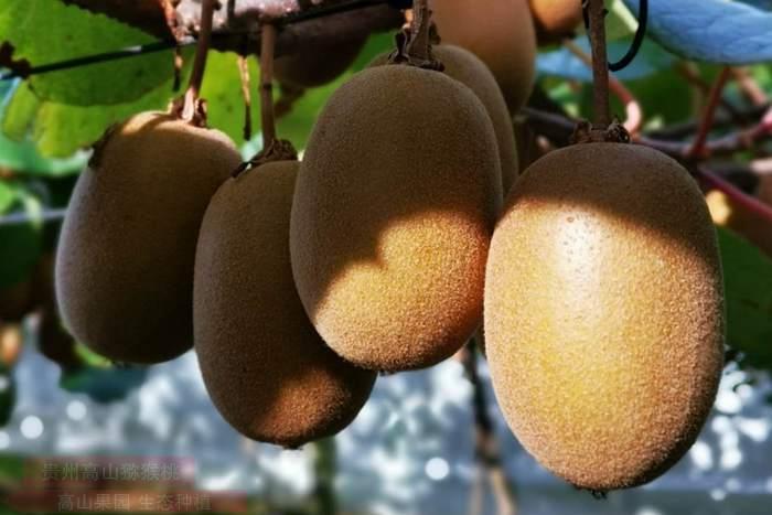 浙江红心猕猴桃和黄心猕猴桃有什么区别