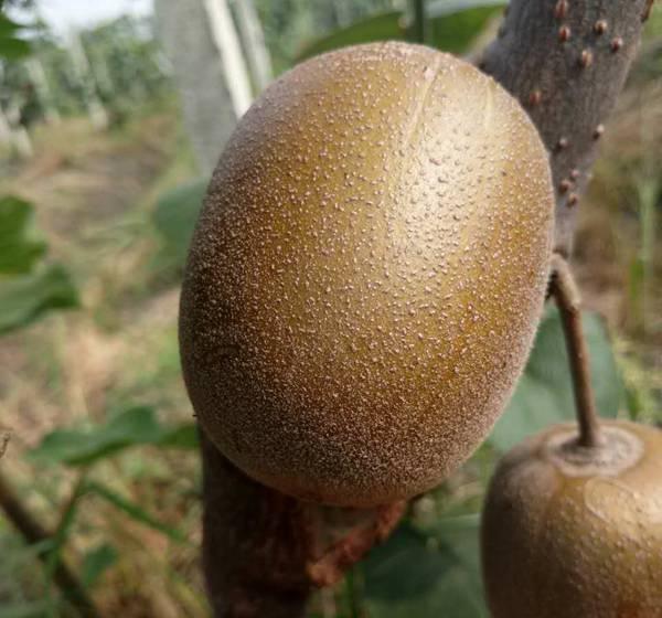 阳光金果猕猴桃