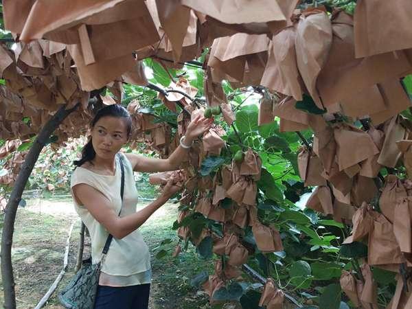 提高果实糖分和耐储性,猕猴桃夏季修剪很重要(重)