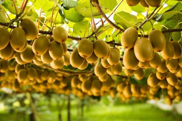 新西蘭陽光金果獼猴桃這么牛 原來都是從我國引進的