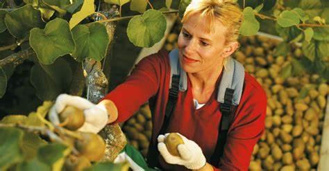 新西兰猕猴桃行业遭遇用工荒 阳光金果没人采摘了