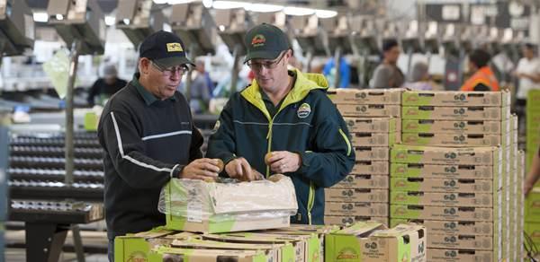 今年首批新西兰阳光金果猕猴桃以最快速度进入千家万户