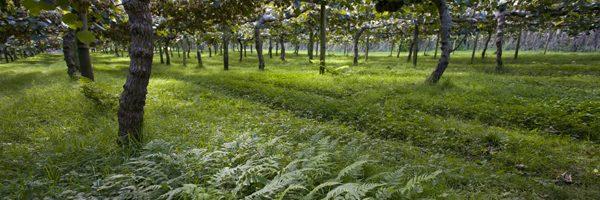 新西兰猕猴桃果园