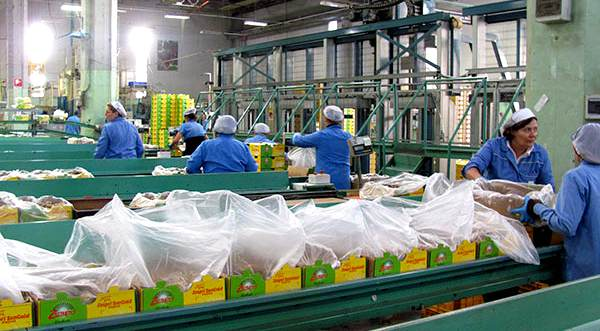新西蘭獼猴桃行業遭遇用工荒 陽光金果沒人采摘了