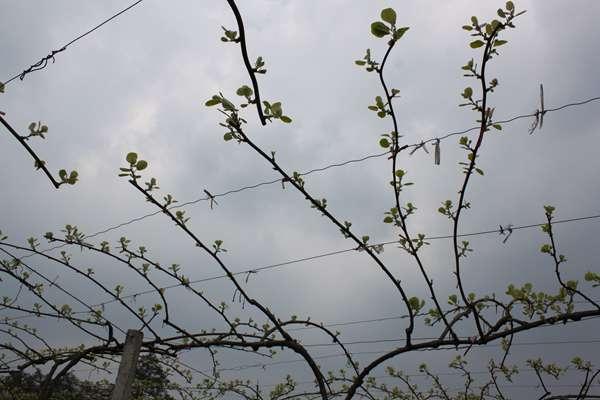 猕猴桃丰产树形