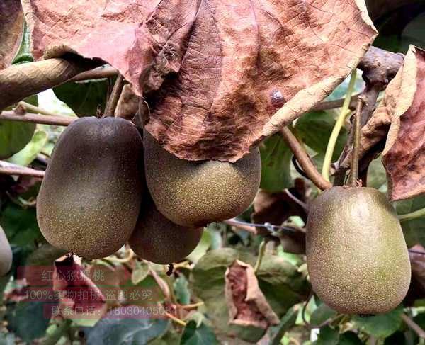谨防夏季高温对红心猕猴桃的影响