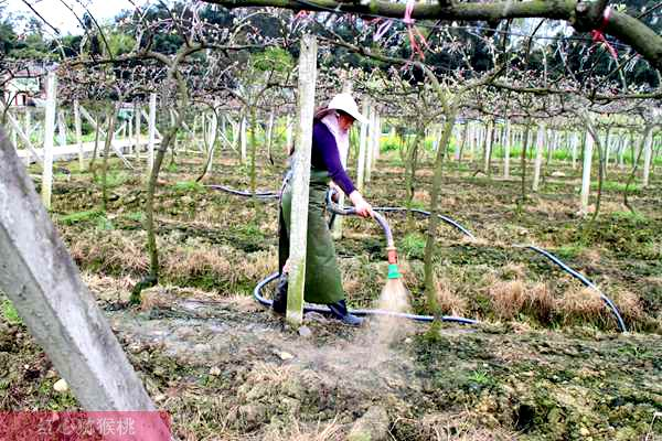 红心猕猴桃果园灌水