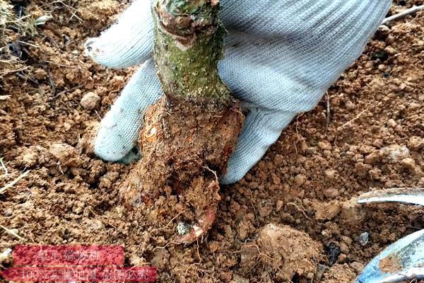 猕猴桃栽植过深