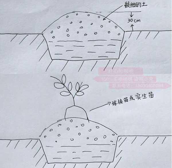 猕猴桃定植
