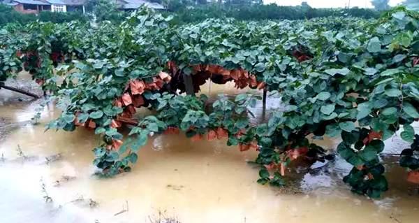 猕猴桃果园下雨