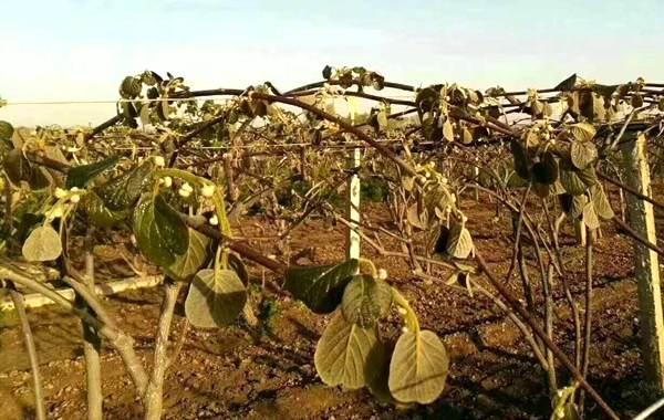早春倒春寒会对猕猴桃新梢、花果造成一定危害 猕猴桃冻害表现